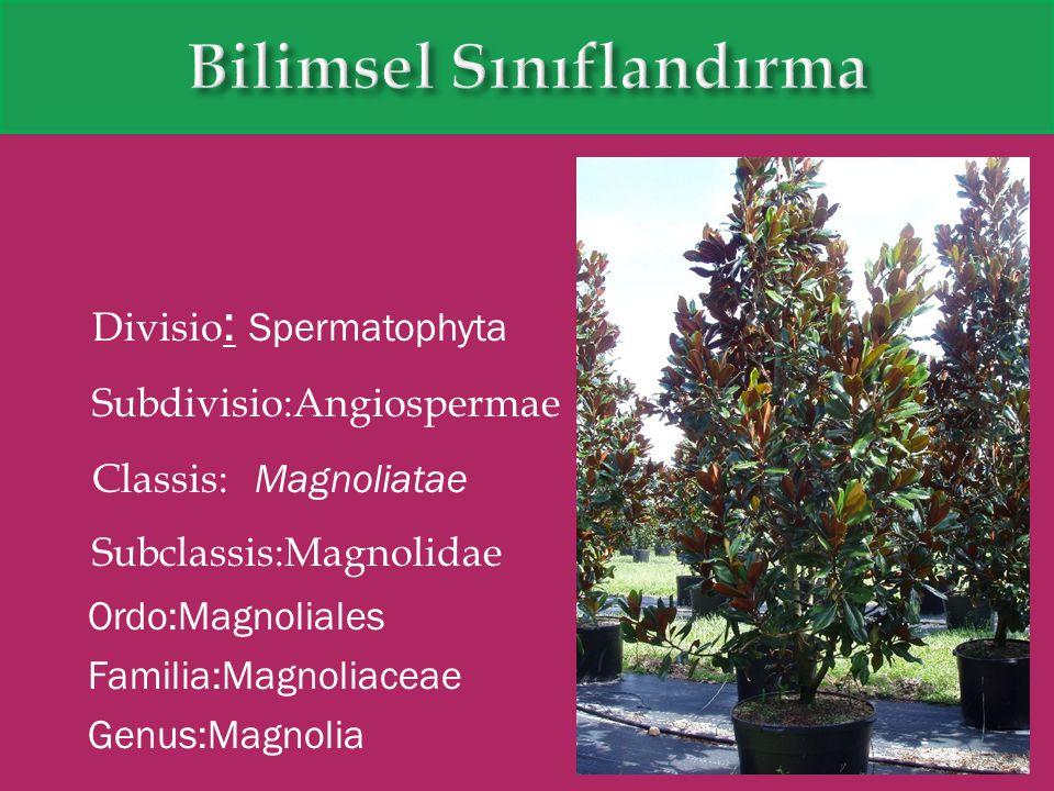 Divisio : Spermatophyta Subdivisio:Angiospermae Classis: Magnoliatae Subclassis:Magnolidae Ordo:Magnoliales Familia:Magnoliaceae Genus:Magnolia
