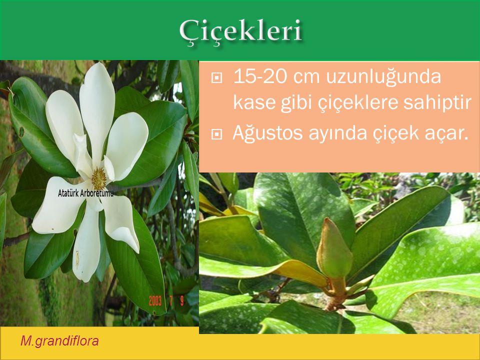  15-20 cm uzunluğunda kase gibi çiçeklere sahiptir  Ağustos ayında çiçek açar. M.grandiflora
