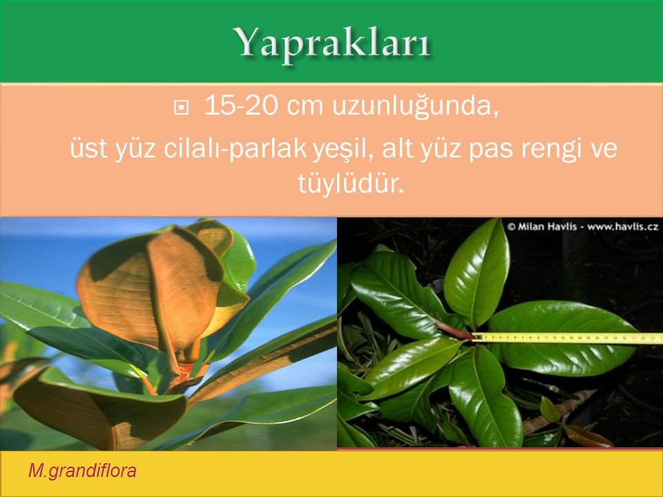 M.grandiflora  15-20 cm uzunluğunda, üst yüz cilalı-parlak yeşil, alt yüz pas rengi ve tüylüdür.