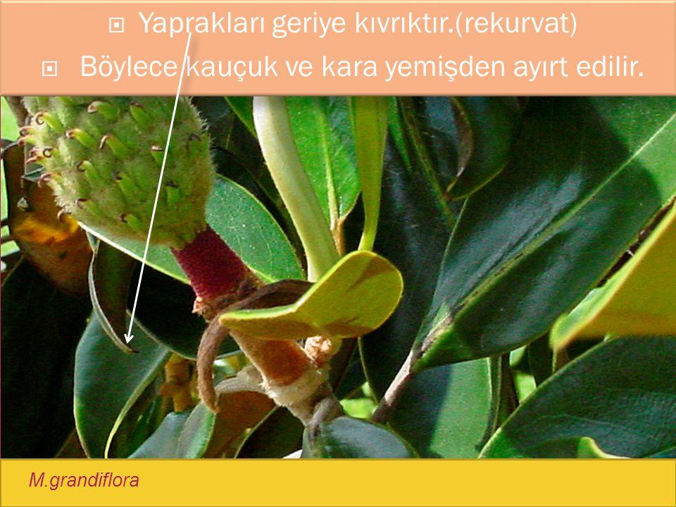  Yaprakları geriye kıvrıktır.(rekurvat)  Böylece kauçuk ve kara yemişden ayırt edilir. M.grandiflora