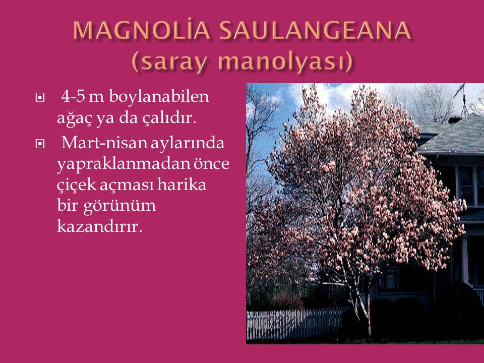  4-5 m boylanabilen ağaç ya da çalıdır.  Mart-nisan aylarında yapraklanmadan önce çiçek açması harika bir görünüm kazandırır.