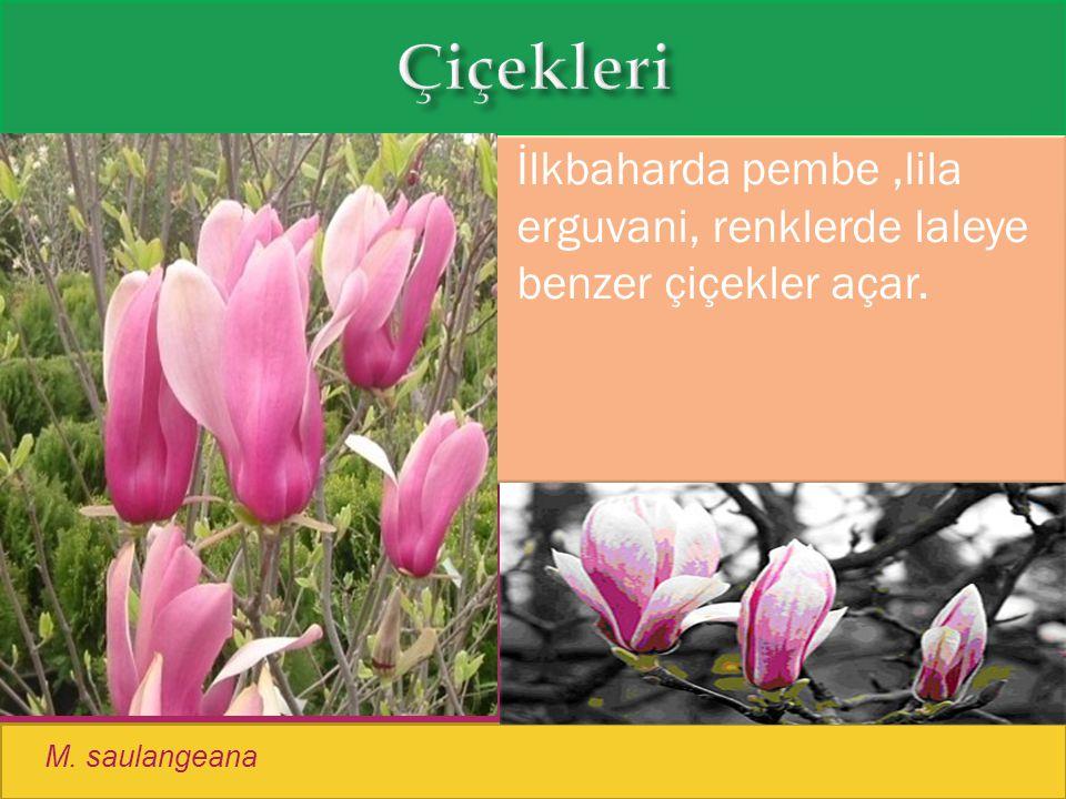  İlkbaharda pembe,lila erguvani, renklerde laleye benzer çiçekler açar. M. saulangeana