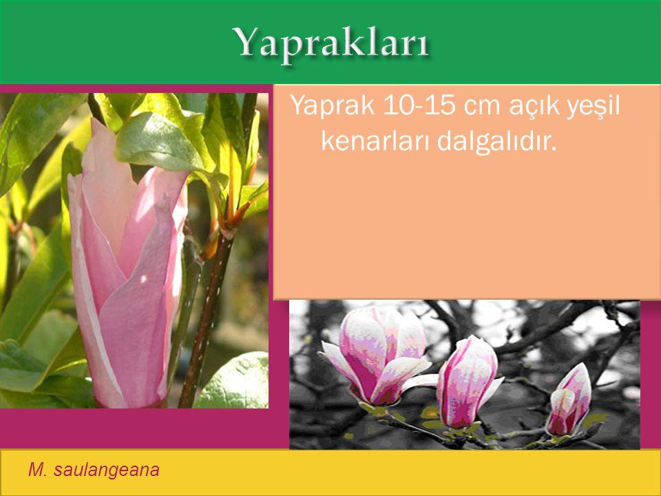 Yaprak 10-15 cm açık yeşil kenarları dalgalıdır. M. saulangeana