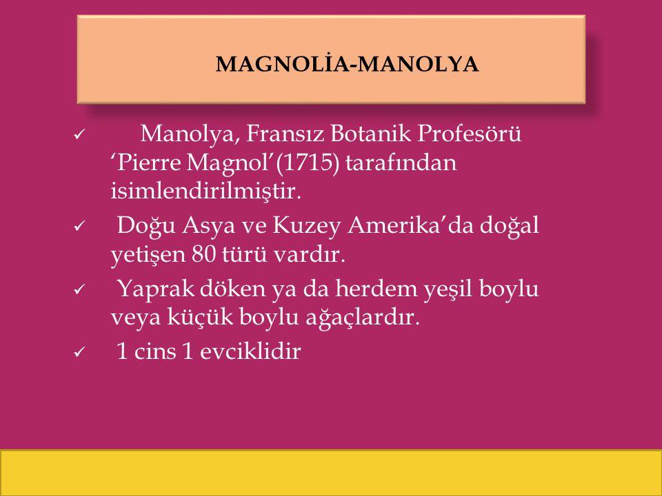 MAGNOLİA-MANOLYA Manolya, Fransız Botanik Profesörü 'Pierre Magnol'(1715) tarafından isimlendirilmiştir. Doğu Asya ve Kuzey Amerika'da doğal yetişen 8