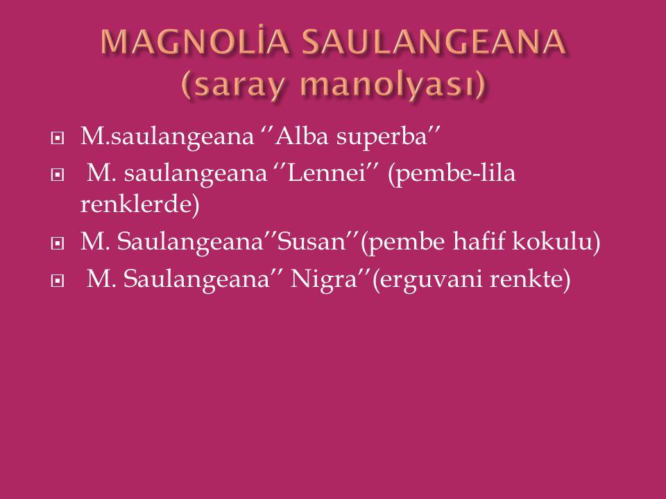 M.saulangeana ''Alba superba''  M. saulangeana ''Lennei'' (pembe-lila renklerde)  M. Saulangeana''Susan''(pembe hafif kokulu)  M. Saulangeana'' N