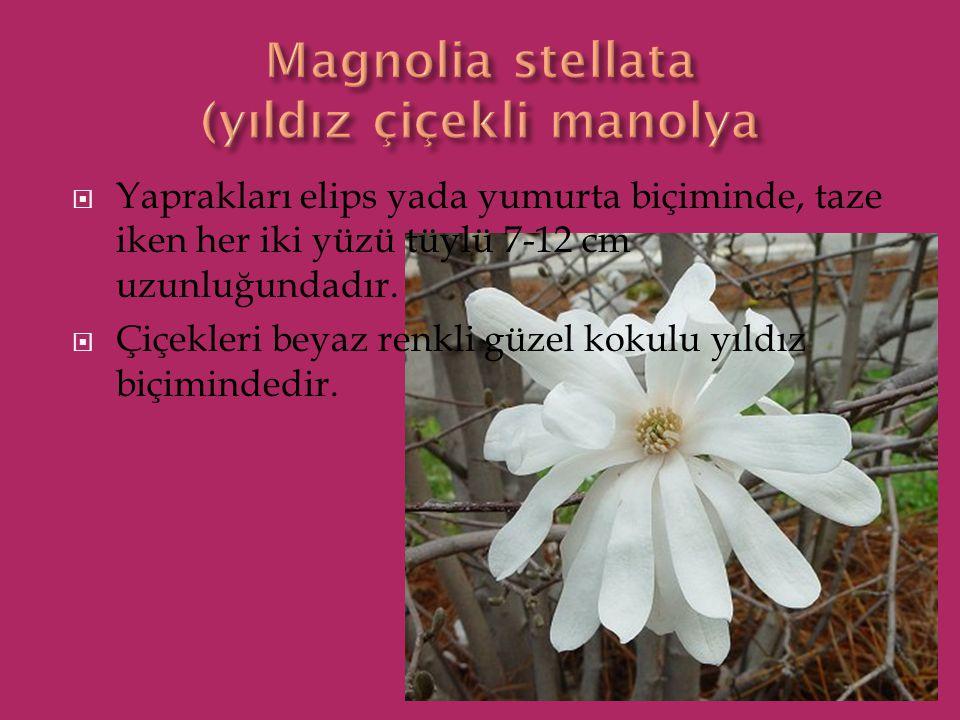  Yaprakları elips yada yumurta biçiminde, taze iken her iki yüzü tüylü 7-12 cm uzunluğundadır.  Çiçekleri beyaz renkli güzel kokulu yıldız biçiminde