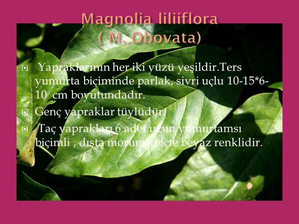  Yapraklarının her iki yüzü yeşildir.Ters yumurta biçiminde parlak, sivri uçlu 10-15*6- 10 cm boyutundadır.  Genç yapraklar tüylüdür.  Taç yaprakla