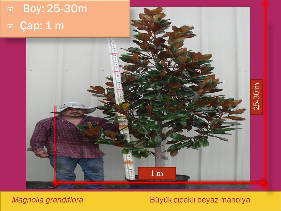  Boy: 25-30m  Çap: 1 m Magnolia grandifloraBüyük çiçekli beyaz manolya 1 m 25-30 m