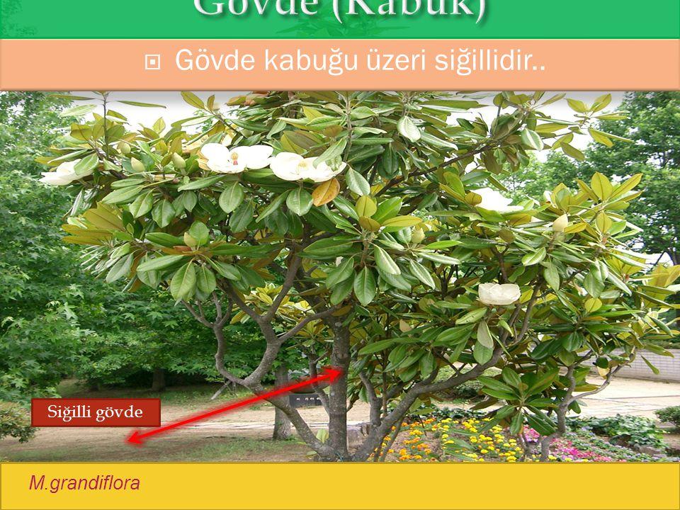  Gövde kabuğu üzeri siğillidir.. M.grandiflora Siğilli gövde