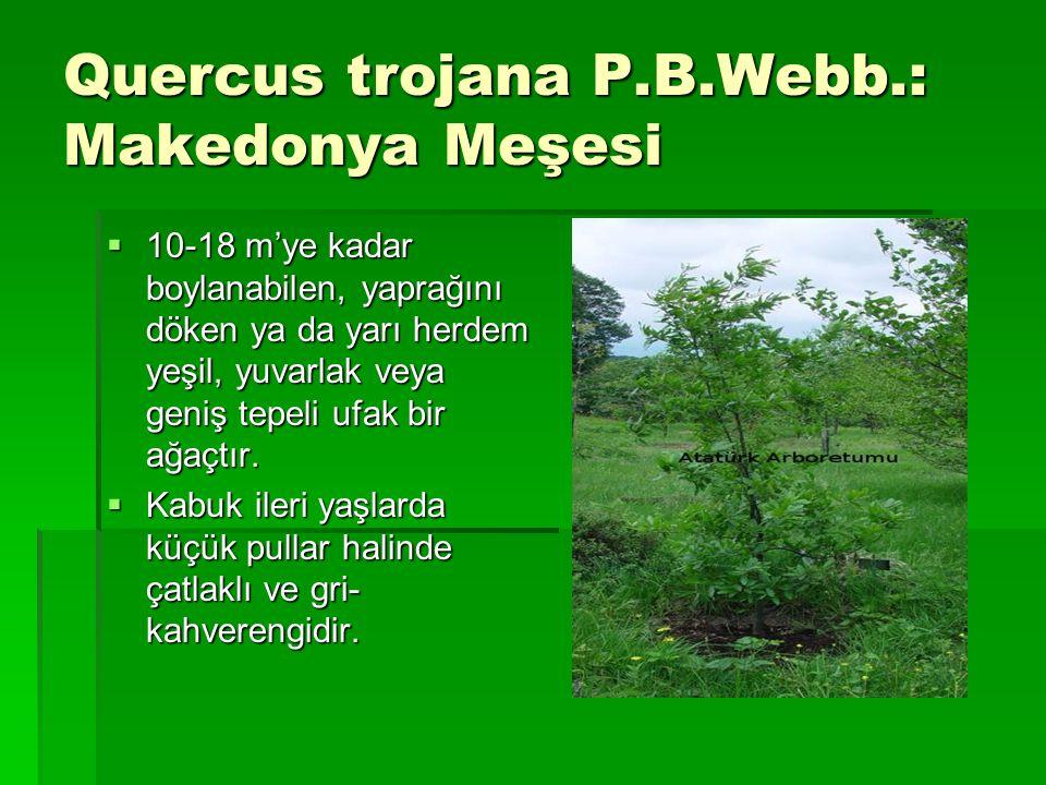Quercus trojana P.B.Webb.: Makedonya Meşesi  10-18 m'ye kadar boylanabilen, yaprağını döken ya da yarı herdem yeşil, yuvarlak veya geniş tepeli ufak
