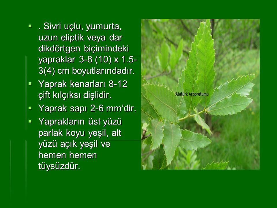 . Sivri uçlu, yumurta, uzun eliptik veya dar dikdörtgen biçimindeki yapraklar 3-8 (10) x 1.5- 3(4) cm boyutlarındadır.  Yaprak kenarları 8-12 çift k