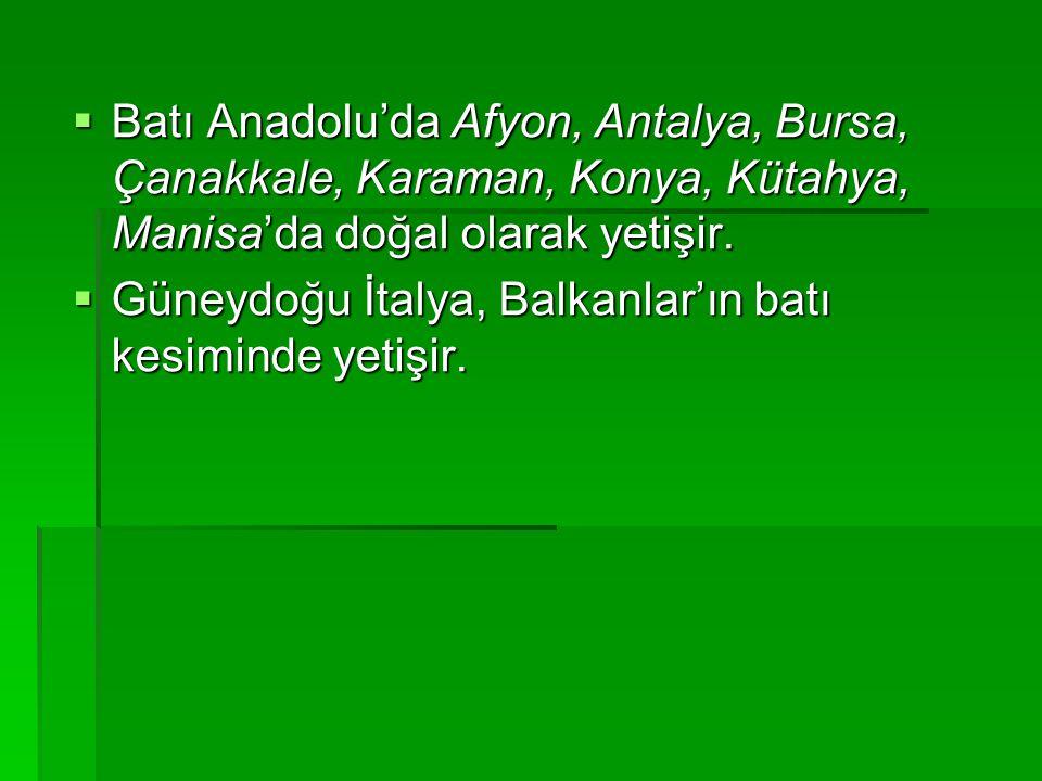  Batı Anadolu'da Afyon, Antalya, Bursa, Çanakkale, Karaman, Konya, Kütahya, Manisa'da doğal olarak yetişir.  Güneydoğu İtalya, Balkanlar'ın batı kes