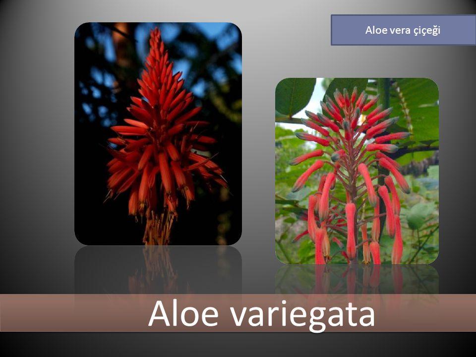 Aloe variegata Aloe vera çiçeği