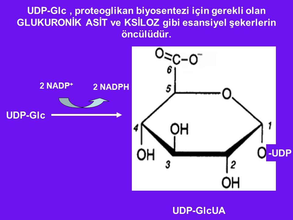 UDP-Glc, proteoglikan biyosentezi için gerekli olan GLUKURONİK ASİT ve KSİLOZ gibi esansiyel şekerlerin öncülüdür. -UDP UDP-Glc 2 NADP + 2 NADPH UDP-G