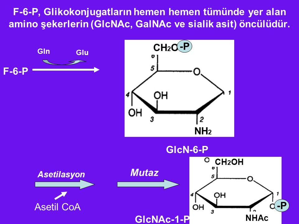 F-6-P, Glikokonjugatların hemen hemen tümünde yer alan amino şekerlerin (GlcNAc, GalNAc ve sialik asit) öncülüdür. F-6-P Gln Glu CH 2 O NH 2 -P GlcN-6