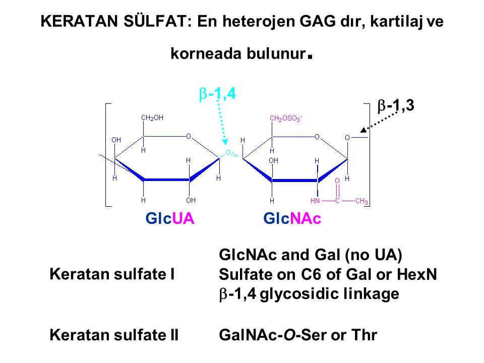 Keratan sulfate I GlcNAc and Gal (no UA) Sulfate on C6 of Gal or HexN  -1,4 glycosidic linkage GlcUAGlcNAc  -1,4  -1,3 Keratan sulfate IIGalNAc-O-S