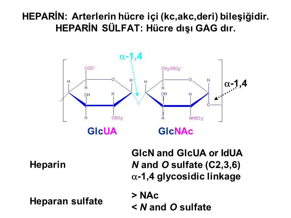 Heparin GlcN and GlcUA or IdUA N and O sulfate (C2,3,6)  -1,4 glycosidic linkage GlcUAGlcNAc  -1,4 Heparan sulfate > NAc < N and O sulfate HEPARİN: