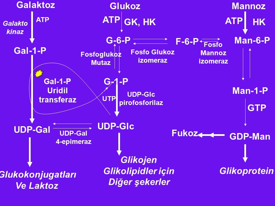 Galaktoz GlukozMannoz Galakto kinaz ATP Gal-1-P UDP-Gal Glukokonjugatları Ve Laktoz G-6-P ATP GK, HK F-6-P Man-6-P HK ATP Fosfo Glukoz izomeraz Fosfo