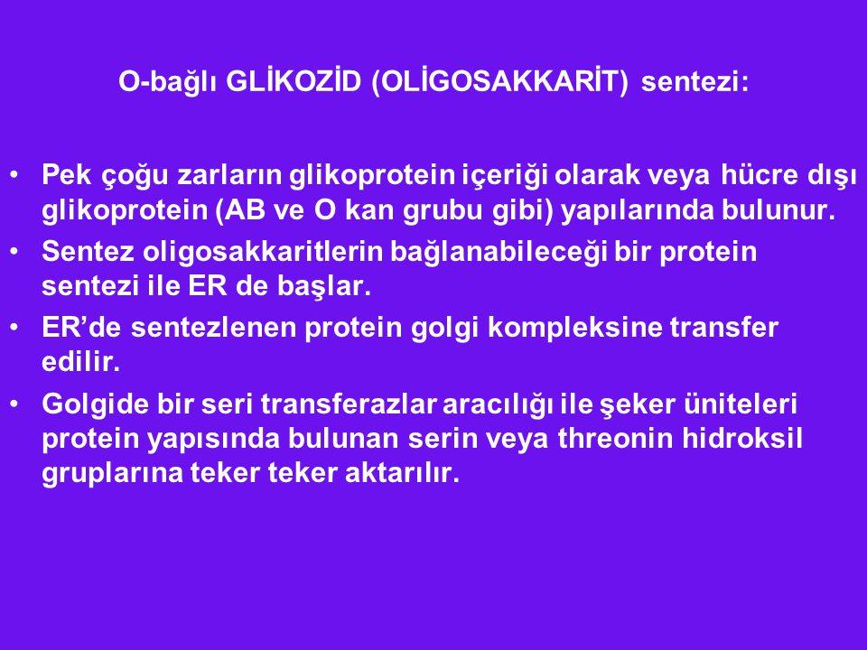 O-bağlı GLİKOZİD (OLİGOSAKKARİT) sentezi: Pek çoğu zarların glikoprotein içeriği olarak veya hücre dışı glikoprotein (AB ve O kan grubu gibi) yapıları
