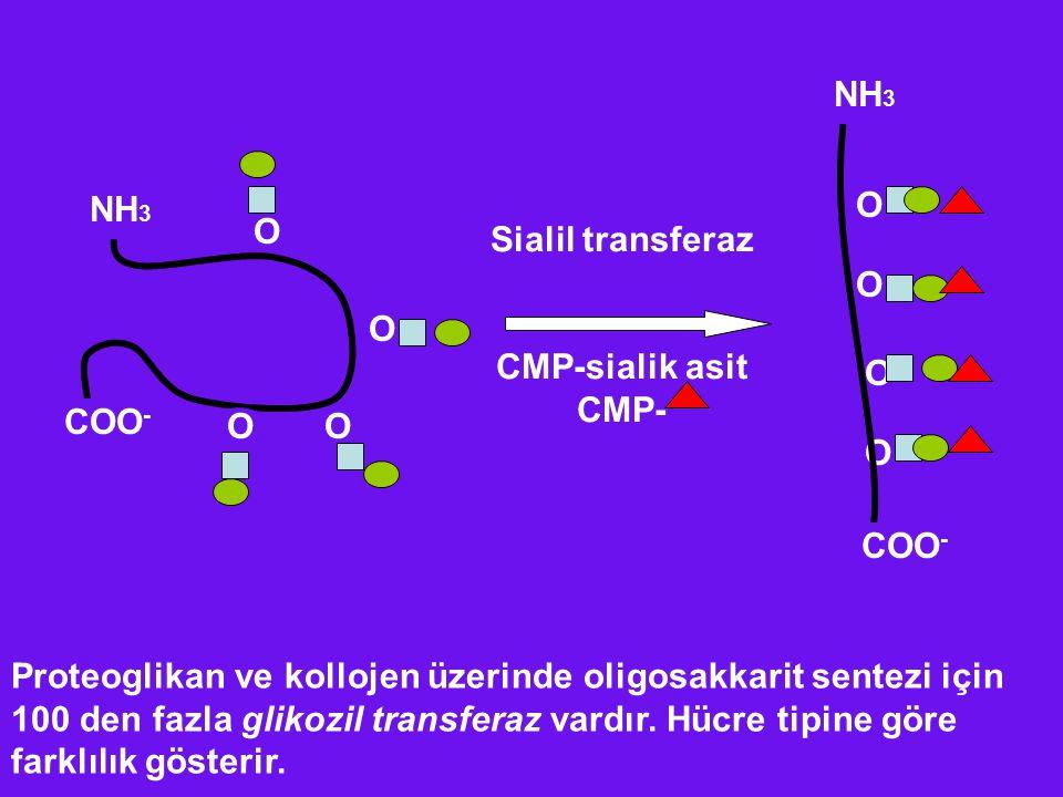 NH 3 COO - O O OO O O O O Sialil transferaz CMP-sialik asit CMP- NH 3 COO - Proteoglikan ve kollojen üzerinde oligosakkarit sentezi için 100 den fazla