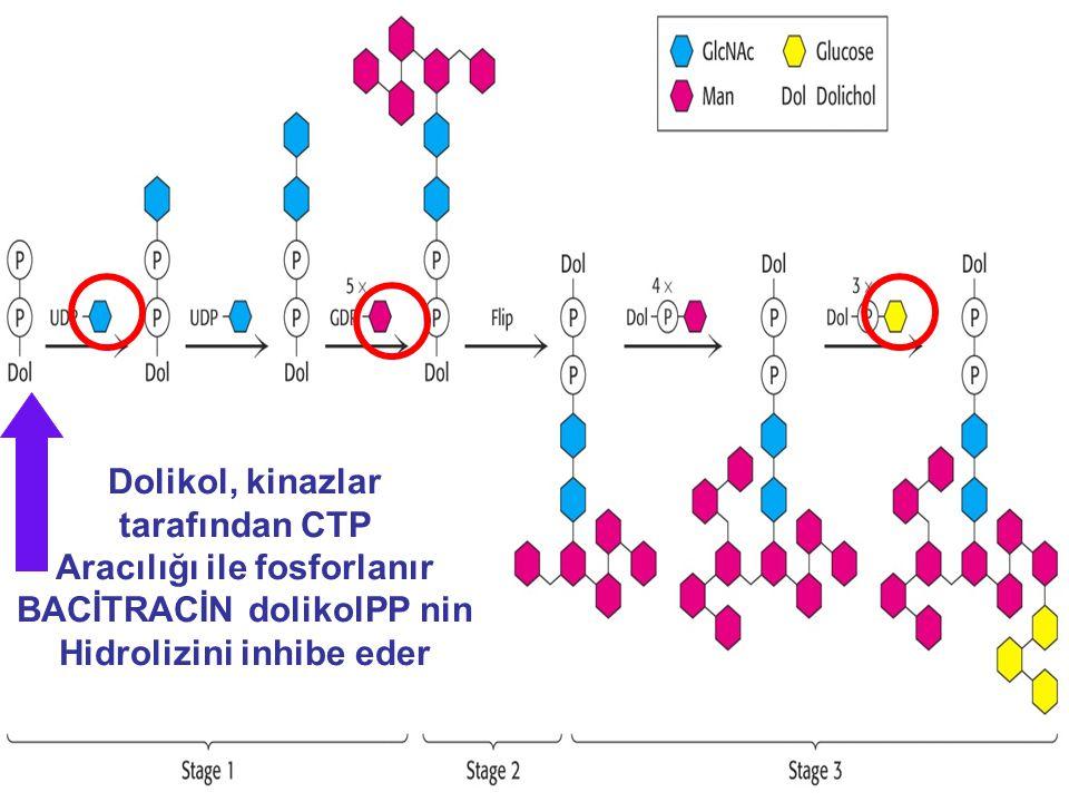 Dolikol, kinazlar tarafından CTP Aracılığı ile fosforlanır BACİTRACİN dolikolPP nin Hidrolizini inhibe eder