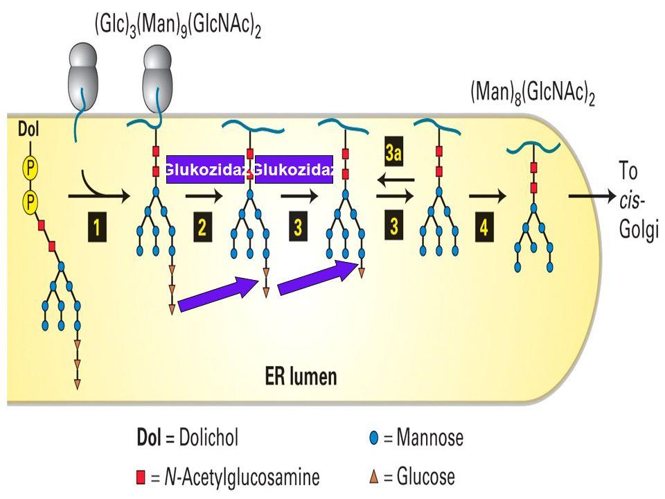 Glukozidaz