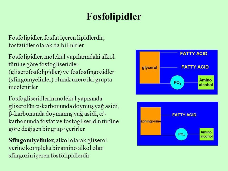 Fosfolipidler Fosfolipidler, fosfat içeren lipidlerdir; fosfatidler olarak da bilinirler Fosfolipidler, molekül yapılarındaki alkol türüne göre fosfogliseridler (gliserofosfolipidler) ve fosfosfingozidler (sfingomyelinler) olmak üzere iki grupta incelenirler Fosfogliseridlerin molekül yapısında gliserolün  -karbonunda doymuş yağ asidi,  -karbonunda doymamış yağ asidi,  - karbonunda fosfat ve fosfogliseridin türüne göre değişen bir grup içerirler Sfingomiyelinler, alkol olarak gliserol yerine kompleks bir amino alkol olan sfingozin içeren fosfolipidlerdir