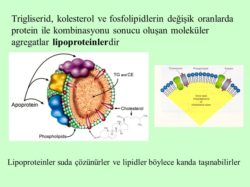 Trigliserid, kolesterol ve fosfolipidlerin değişik oranlarda protein ile kombinasyonu sonucu oluşan moleküler agregatlar lipoproteinlerdir Lipoproteinler suda çözünürler ve lipidler böylece kanda taşınabilirler