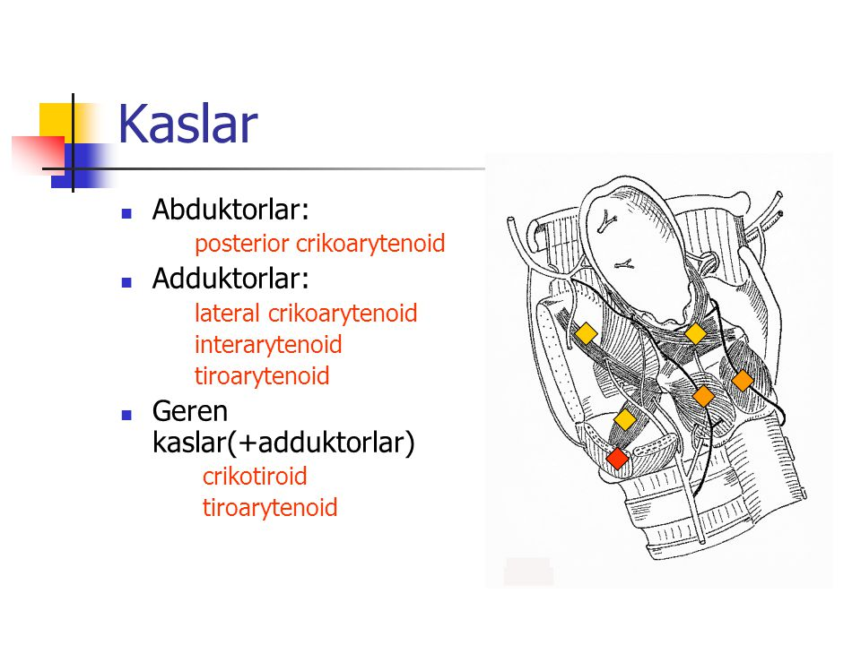 Superior laringeal sinir vokal kord üstündeki larenksin sensoriyal innervasyonu motor: crikotiroid kas Rekürren laringeal gerikalan tüm larenks kasları vokal kord altındakı larenks sensoriyal innervasyon