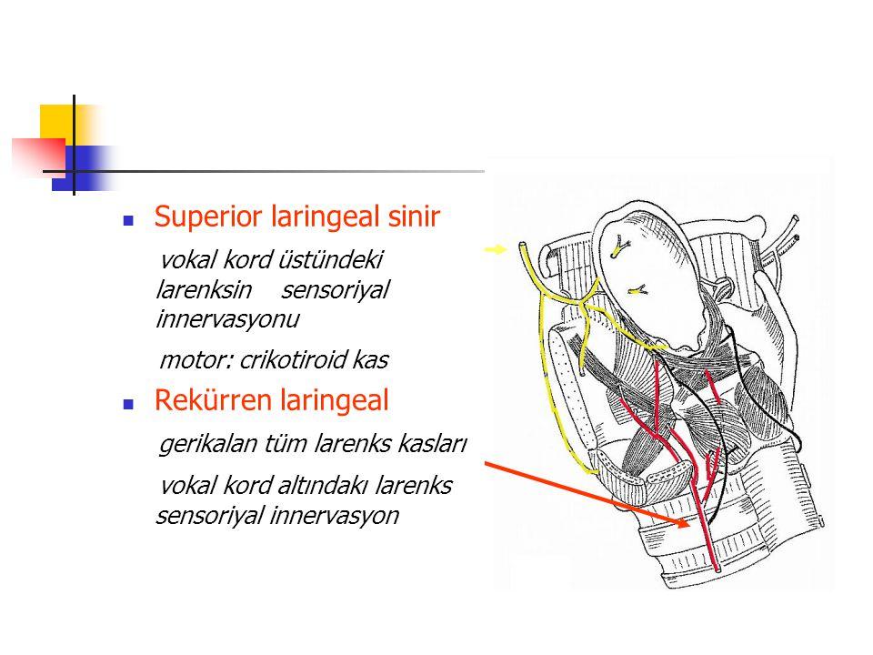 Superior laringeal sinir vokal kord üstündeki larenksin sensoriyal innervasyonu motor: crikotiroid kas Rekürren laringeal gerikalan tüm larenks kaslar
