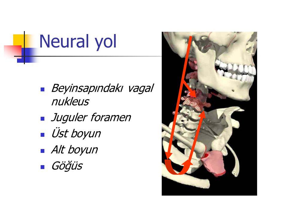Neural yol Beyinsapındakı vagal nukleus Juguler foramen Üst boyun Alt boyun Göğüs