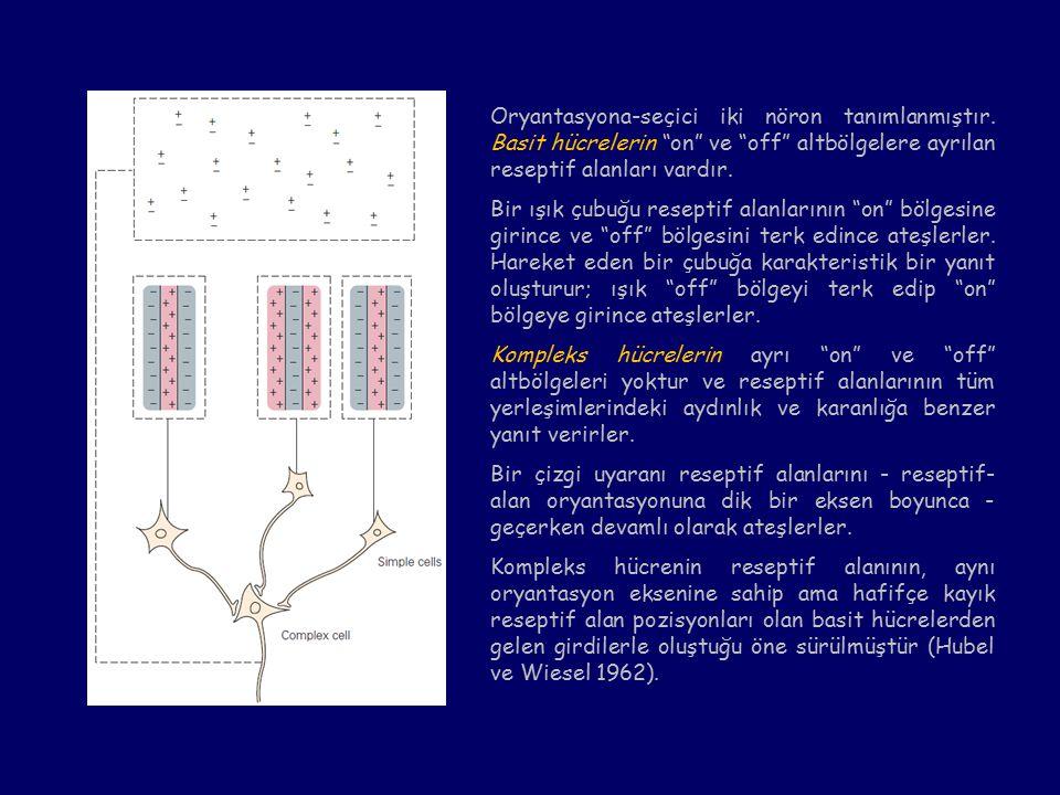 Oryantasyona-seçici iki nöron tanımlanmıştır.