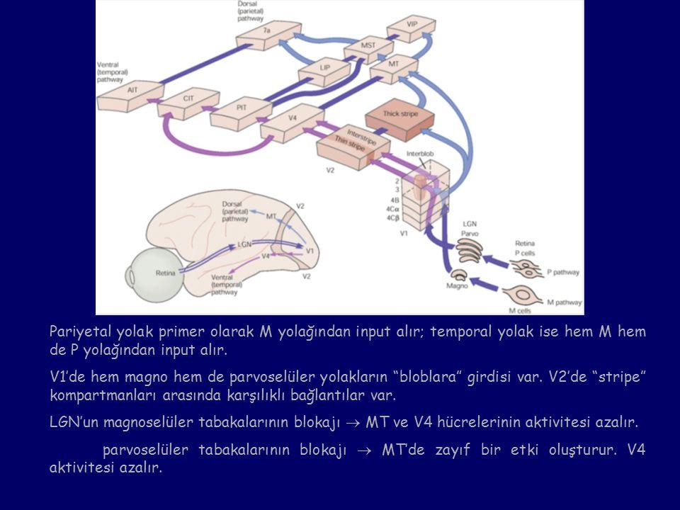 Pariyetal yolak primer olarak M yolağından input alır; temporal yolak ise hem M hem de P yolağından input alır.