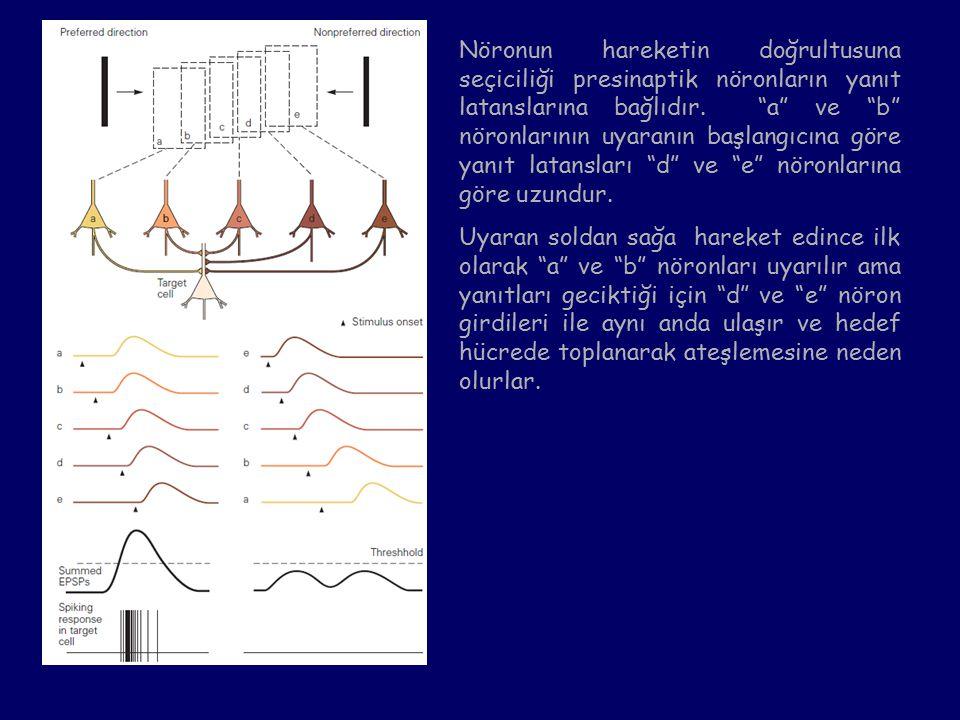 Nöronun hareketin doğrultusuna seçiciliği presinaptik nöronların yanıt latanslarına bağlıdır.