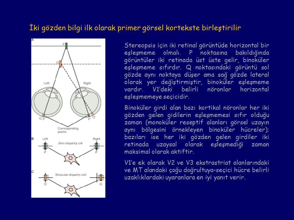 İki gözden bilgi ilk olarak primer görsel kortekste birleştirilir Stereopsis için iki retinal görüntüde horizontal bir eşleşmeme olmalı.
