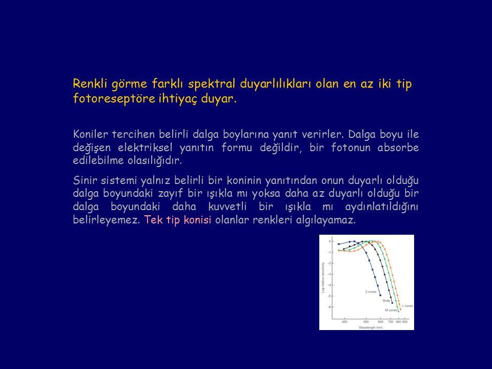 Koniler tercihen belirli dalga boylarına yanıt verirler.