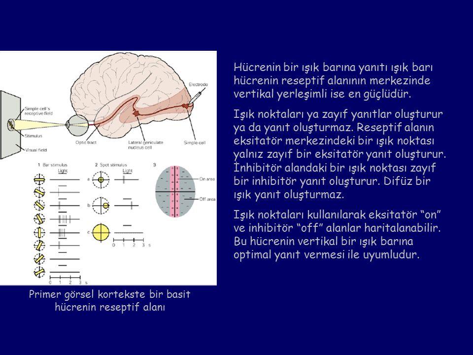 Primer görsel kortekste bir basit hücrenin reseptif alanı Hücrenin bir ışık barına yanıtı ışık barı hücrenin reseptif alanının merkezinde vertikal yerleşimli ise en güçlüdür.