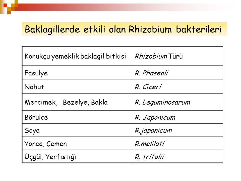 Konukçu yemeklik baklagil bitkisiRhizobium Türü FasulyeR.