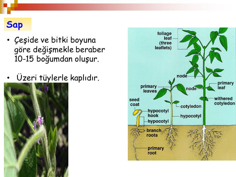 Sap Çeşide ve bitki boyuna göre değişmekle beraber 10-15 boğumdan oluşur. Üzeri tüylerle kaplıdır.