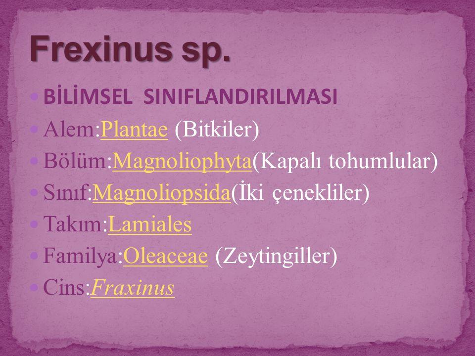 BİLİMSEL SINIFLANDIRILMASI Alem:Plantae (Bitkiler)Plantae Bölüm:Magnoliophyta(Kapalı tohumlular)Magnoliophyta Sınıf:Magnoliopsida(İki çenekliler)Magno