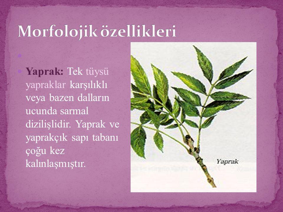Yaprak: Tek tüysü yapraklar karşılıklı veya bazen dalların ucunda sarmal dizilişlidir. Yaprak ve yaprakçık sapı tabanı çoğu kez kalınlaşmıştır.