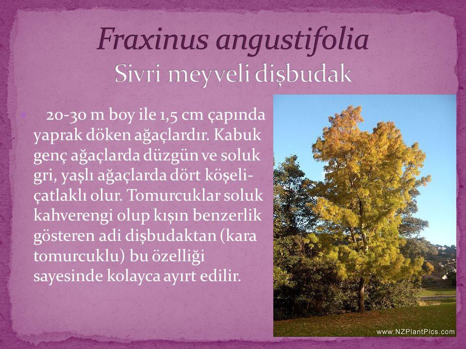 20-30 m boy ile 1,5 cm çapında yaprak döken ağaçlardır. Kabuk genç ağaçlarda düzgün ve soluk gri, yaşlı ağaçlarda dört köşeli- çatlaklı olur. Tomurcuk