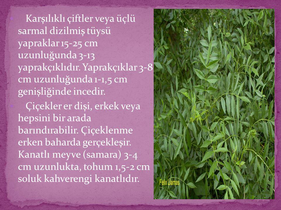 Karşılıklı çiftler veya üçlü sarmal dizilmiş tüysü yapraklar 15-25 cm uzunluğunda 3-13 yaprakçıklıdır. Yaprakçıklar 3-8 cm uzunluğunda 1-1,5 cm genişl