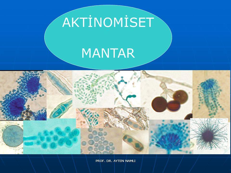 Aktinomisetleri etkileyen çevresel faktörler Aktinomisetleri etkileyen çevresel faktörler toprak organik madde statüsü, toprak organik madde statüsü, toprak pH sı-nötr-alkalin toprak pH sı-nötr-alkalin nem koşulları-kuru koşulları sever nem koşulları-kuru koşulları sever Sıcaklık- çoğu mezofil (25-30 0 C) olup, çok yaygın olmayan termofil formlar 55-60 0 C arasında aktiftirler.