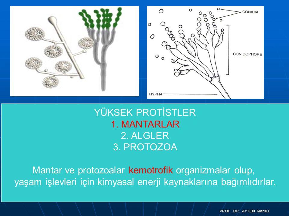 YÜKSEK PROTİSTLER 1. MANTARLAR 2. ALGLER 3. PROTOZOA Mantar ve protozoalar kemotrofik organizmalar olup, yaşam işlevleri için kimyasal enerji kaynakla