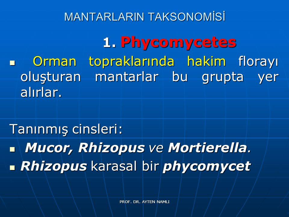 MANTARLARIN TAKSONOMİSİ 1. Phycomycetes 1. Phycomycetes Orman topraklarında hakim florayı oluşturan mantarlar bu grupta yer alırlar. Orman toprakların