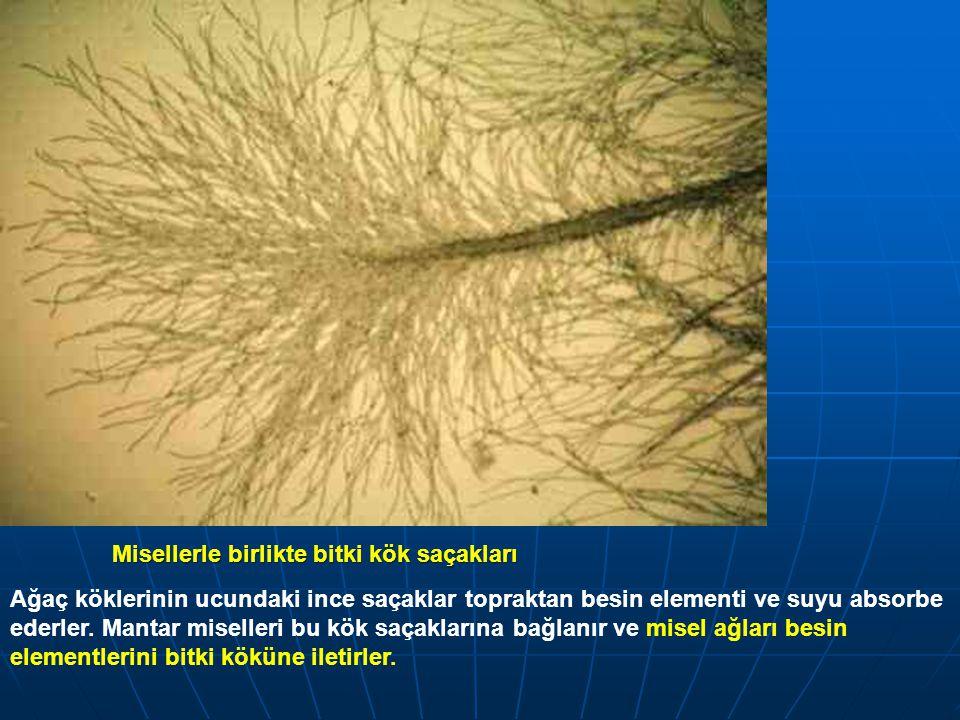 Misellerle birlikte bitki kök saçakları Ağaç köklerinin ucundaki ince saçaklar topraktan besin elementi ve suyu absorbe ederler. Mantar miselleri bu k