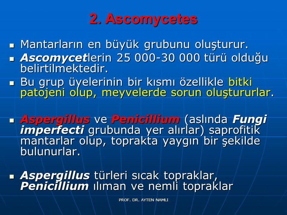 2. Ascomycetes Mantarların en büyük grubunu oluşturur. Mantarların en büyük grubunu oluşturur. Ascomycetlerin 25 000-30 000 türü olduğu belirtilmekted