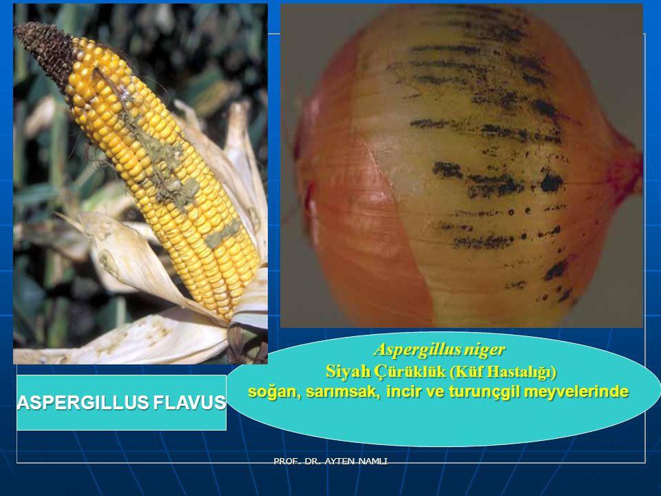 Aspergillus niger Siyah Ç ürüklük (Küf Hastalığı) soğan, sarımsak, incir ve turunçgil meyvelerinde ASPERGILLUS FLAVUS PROF. DR. AYTEN NAMLI