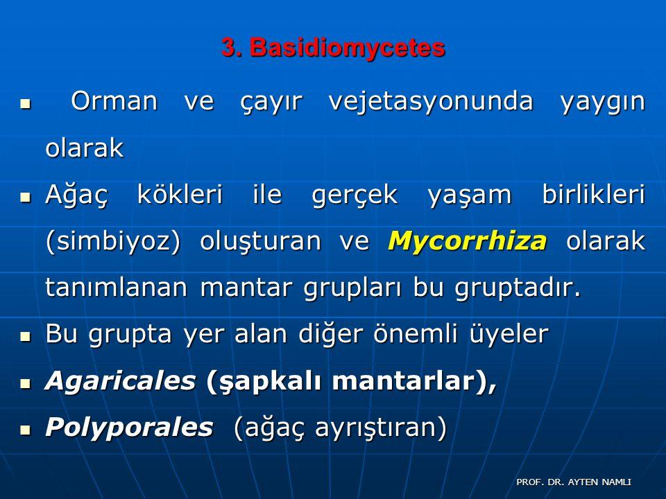 3. Basidiomycetes Orman ve çayır vejetasyonunda yaygın olarak Orman ve çayır vejetasyonunda yaygın olarak Ağaç kökleri ile gerçek yaşam birlikleri (si